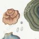 DETAILS 02 | Mycology - Mushroom - Polyporus Pl.174
