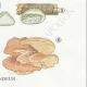 DETAILS 06 | Mycology - Mushroom - Polyporus Pl.174