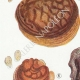 DETAILS 02 | Mycology - Mushroom - Polyporus Pl.177