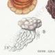 DETAILS 03 | Mycology - Mushroom - Polyporus Pl.177