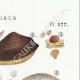 DETAILS 04 | Mycology - Mushroom - Polyporus Pl.177