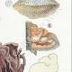 DETAILS 05 | Mycology - Mushroom - Polyporus Pl.177