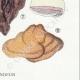 DETAILS 06 | Mycology - Mushroom - Polyporus Pl.177