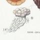 DETAILS 07 | Mycology - Mushroom - Polyporus Pl.177