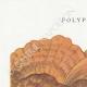 DETAILS 01   Mycology - Mushroom - Polyporus Pl.179