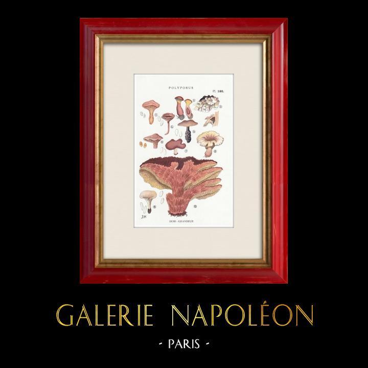 Gravures Anciennes & Dessins | Mycologie - Champignon - Polyporus Pl.180 | Impression | 1919