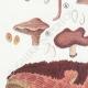 DÉTAILS 02 | Mycologie - Champignon - Polyporus Pl.180
