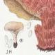 DÉTAILS 03 | Mycologie - Champignon - Polyporus Pl.180