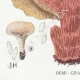 DÉTAILS 07 | Mycologie - Champignon - Polyporus Pl.180