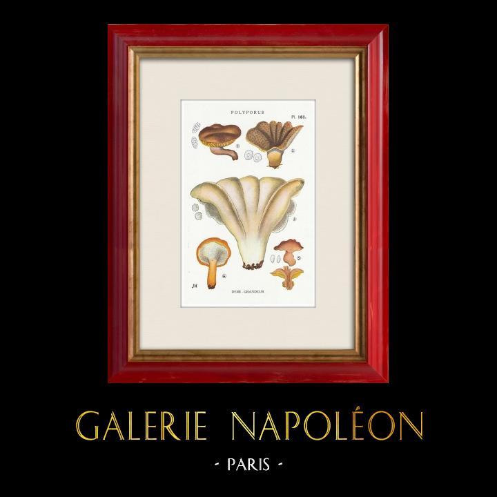 Gravures Anciennes & Dessins | Mycologie - Champignon - Polyporus Pl.181 | Impression | 1919