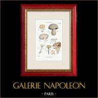 Mycologie - Champignon - Polyporus Pl.184