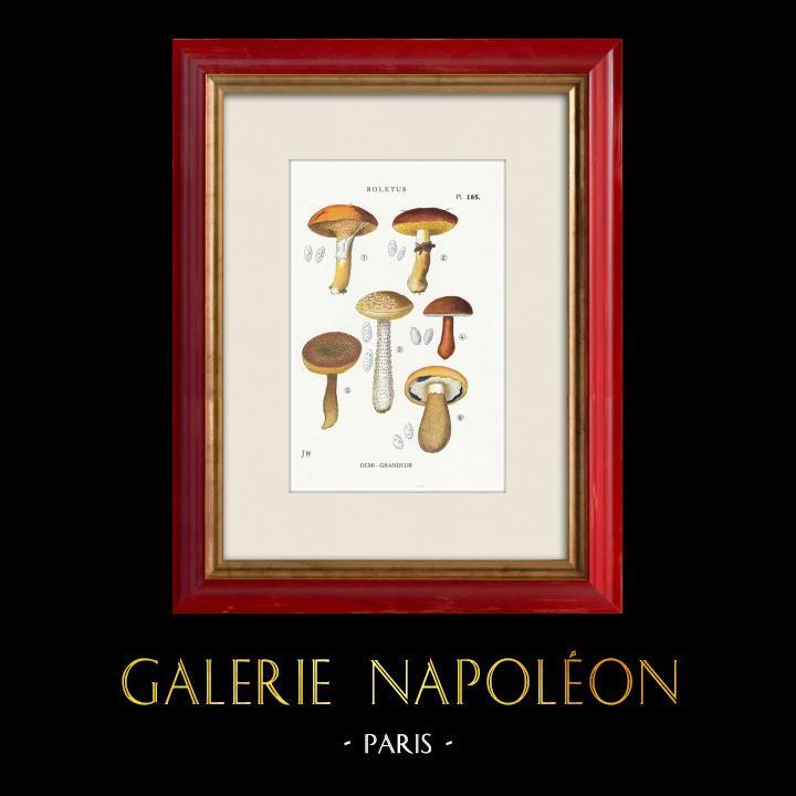 Gravures Anciennes & Dessins | Mycologie - Champignon - Boletus Pl.185 | Impression | 1919