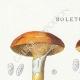 DÉTAILS 01 | Mycologie - Champignon - Boletus Pl.185