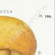 DETAILS 04 | Mycology - Mushroom - Boletus Pl.186