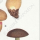 DETAILS 05 | Mycology - Mushroom - Boletus Pl.188