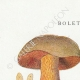 DETAILS 01 | Mycology - Mushroom - Boletus Pl.190