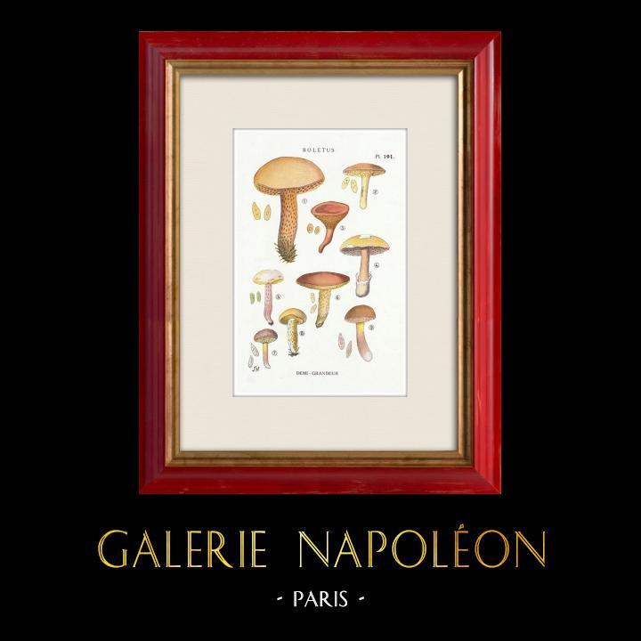 Antique Prints & Drawings   Mycology - Mushroom - Boletus Pl.191   Print   1919