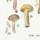DETAILS 03   Mycology - Mushroom - Boletus Pl.191