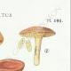 DETAILS 04   Mycology - Mushroom - Boletus Pl.191