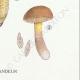DETAILS 06   Mycology - Mushroom - Boletus Pl.191