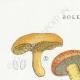 DÉTAILS 01 | Mycologie - Champignon - Boletus Pl.192