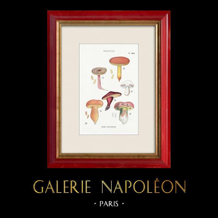 Gravures Anciennes & Dessins   Mycologie - Champignon - Boletus Pl.194   Impression   1919