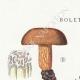 DÉTAILS 01 | Mycologie - Champignon - Boletus Pl.195