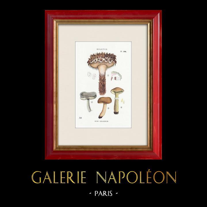Gravures Anciennes & Dessins | Mycologie - Champignon - Boletus Pl.196 | Impression | 1919