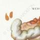 DETAILS 01   Mycology - Mushroom - Merulius Pl.198