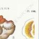 DETAILS 04   Mycology - Mushroom - Merulius Pl.198