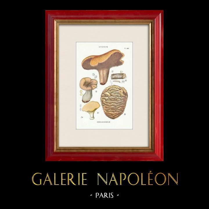 Gravures Anciennes & Dessins | Mycologie - Champignon - Hydnum Pl.201 | Impression | 1919