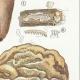 DÉTAILS 05 | Mycologie - Champignon - Hydnum Pl.201