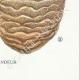 DÉTAILS 08 | Mycologie - Champignon - Hydnum Pl.201