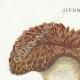 DETAILS 01   Mycology - Mushroom - Hydnum Pl.202