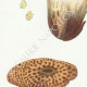 DETAILS 02   Mycology - Mushroom - Hydnum Pl.202