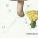 DETAILS 03   Mycology - Mushroom - Hydnum Pl.202