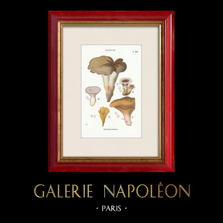 Antique Prints & Drawings | Mycology - Mushroom - Hydnum Pl.203 | Print | 1919