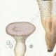 DETAILS 02 | Mycology - Mushroom - Hydnum Pl.203