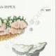 DETALLES 04 | Micología - Seta - Sistotrema-Irpex Pl.207
