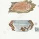 DÉTAILS 02 | Mycologie - Champignon - Odontia - Mucronella Pl.209