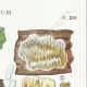 DÉTAILS 04 | Mycologie - Champignon - Radulum Pl.210