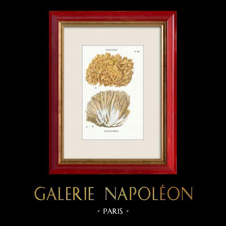 Gravures Anciennes & Dessins | Mycologie - Champignon - Sparassis Pl.213 | Impression | 1919