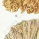 DÉTAILS 02 | Mycologie - Champignon - Sparassis Pl.213
