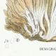 DÉTAILS 03 | Mycologie - Champignon - Sparassis Pl.213