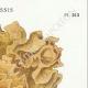 DÉTAILS 04 | Mycologie - Champignon - Sparassis Pl.213