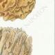 DÉTAILS 05 | Mycologie - Champignon - Sparassis Pl.213