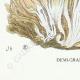 DÉTAILS 07 | Mycologie - Champignon - Sparassis Pl.213