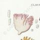 DETAILS 01 | Mycology - Mushroom - Clavaria Pl.214