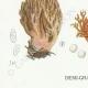 DETAILS 03 | Mycology - Mushroom - Clavaria Pl.214