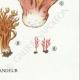 DETAILS 06 | Mycology - Mushroom - Clavaria Pl.214